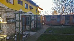 Bajtek-Tibor-Hungary-Heremans-Pigeons_005