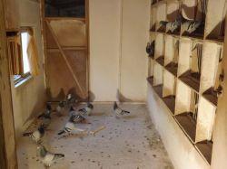 DSCF0006_Bajtek-Tibor_Heremans-Pigeons