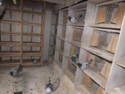 DSCF0007_Bajtek-Tibor_Heremans-Pigeons