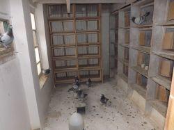 DSCF0009_Bajtek-Tibor_Heremans-Pigeons